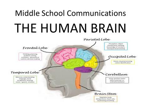 Middle School Communications THE HUMAN BRAIN. Parts of the Cerebrum – Overview Will be reviewed over the next 6 slides The frontal lobe is located at.