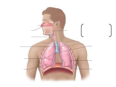 Nasal cavity Nostril Pharynx Larynx Trachea Left main (primary) bronchus Right main (primary) bronchus Right lung Left lung Diaphragm Nasopharynx Oropharynx.