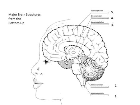 5. Major Brain Structures from the Bottom-Up 4. 3. 2. 1.