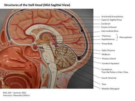 Structures of the Half-Head (Mid-Sagittal View) Arachnoid Granulations Superior Sagittal Sinus Cerebrum Corpus Callosum Intermediate Mass Thalamus Hypothalamus.