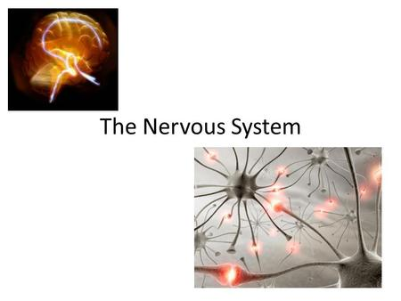 The Nervous System. Divisions of the Nervous System Nervous System Peripheral Nervous System Somatic Nervous System Autonomic Nervous System SympatheticParasympathetic.