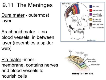 9.11 The Meninges Dura mater - outermost layer