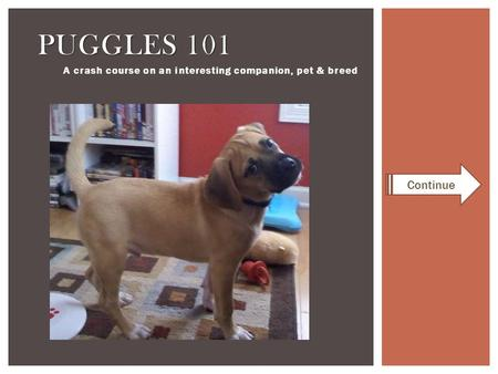 A crash course on an interesting companion, pet & breed PUGGLES 101 Continue.