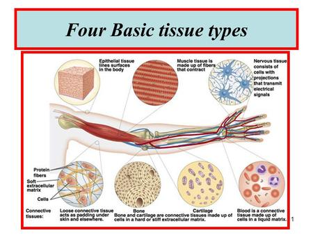 1 Four Basic tissue types. 2 3 BLOOD -Blood is sometimes considered to be a fluid connective tissue because of the mesenchymal origin of its cells and.
