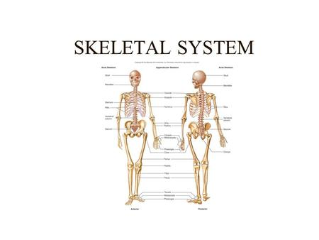 SKELETAL SYSTEM. SKELETAL SYSTEM FUNCTIONS Support (Primary function) Movement (Passive) Protection of Vital Organs Mineral Storage Blood Cell Formation.