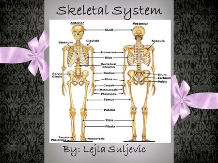 Skeletal System By: Lejla Suljevic. What Are Bones? Bones are what make you stand upright, sit, jump, run and do everything else. If you didn't have bones,