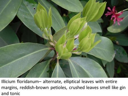 Illicium floridanum– alternate, elliptical leaves with entire margins, reddish-brown petioles, crushed leaves smell like gin and tonic.