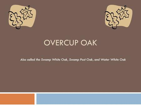 OVERCUP OAK Also called the Swamp White Oak, Swamp Post Oak, and Water White Oak.