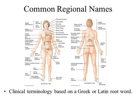 Common Regional Names Clinical terminology based on a Greek or Latin root word.