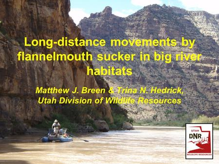 Long-distance movements by flannelmouth sucker in big river habitats Matthew J. Breen & Trina N. Hedrick, Utah Division of Wildlife Resources.