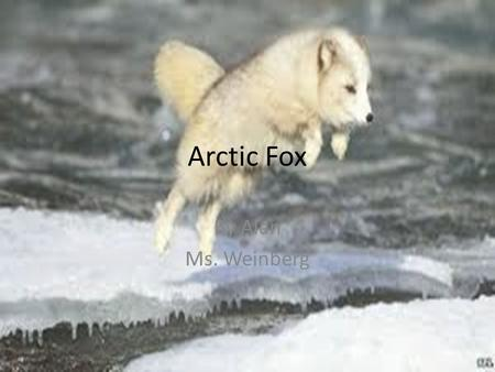 Arctic Fox By Alan Ms. Weinberg. Arctic Fox Why I Chose My Animal? I chose the Arctic Fox because they are very soft. Also Arctic Foxes are cute and.