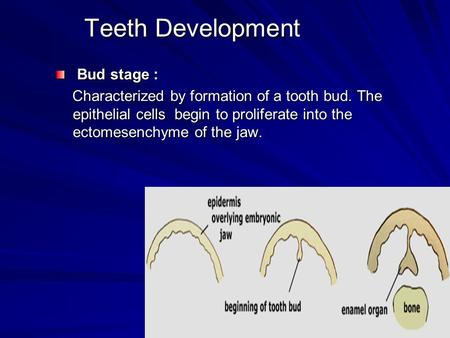 Teeth Development Bud stage :