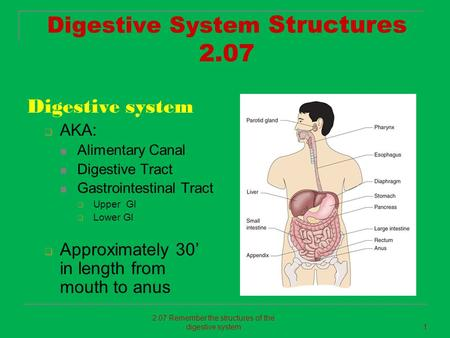 Digestive System Structures 2.07