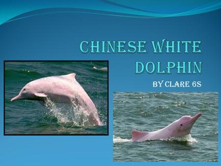 By Clare 6S. The white dolphins colour The Chinese White Dolphin is normally light grey or a whitish colour. The Chinese White Dolphin also can have a.