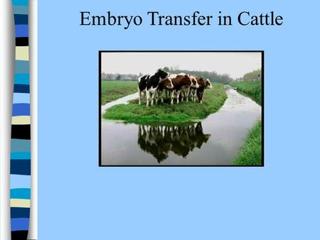 Embryo Transfer in Cattle