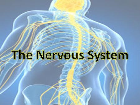 "Biology and Behavior The Nervous System is our bodies ""Blueprint"": – It gathers & processes information – Responds to stimuli – Coordinates the workings."