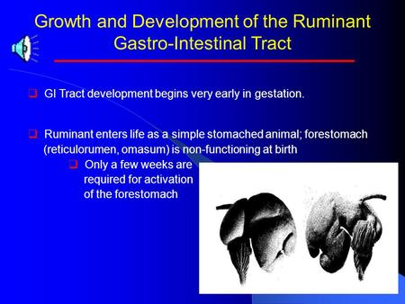Growth and Development of the Ruminant Gastro-Intestinal Tract   GI Tract development begins very early in gestation.   Ruminant enters life as a.