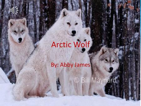 Arctic Wolf By: Abby James Structural Adaptations One structural adaptation of the Arctic Wolf is it's white fur. This is an important adaptation because.