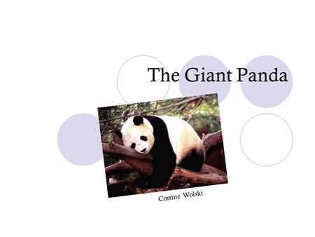 The Giant Panda Corrine Wolski. What we will learn about the panda! What the panda's habitat is like Where the panda lives Baby pandas The panda diet.