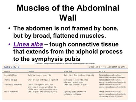 Muscles of the Abdominal Wall The abdomen is not framed by bone, but by broad, flattened muscles. Linea alba – tough connective tissue that extends from.