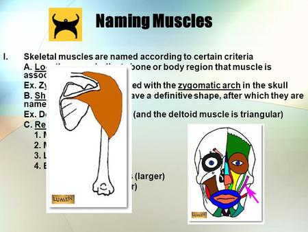 Naming Muscles Skeletal muscles are named according to certain criteria A. Location- may indicate bone or body region that muscle is associated with Ex.