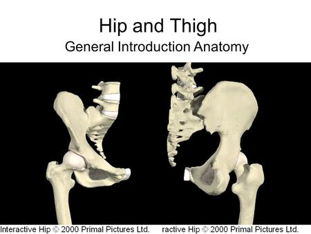 Hip and Thigh General Introduction Anatomy. Hip Joint Ball and Socket –Ball = Femoral Head –Socket = Formed by the three Pelvic Bones Socket called the.