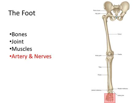The Foot Bones Joint Muscles Artery & Nerves.
