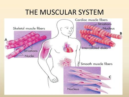 THE MUSCULAR SYSTEM. What types of muscles can be found in the body?
