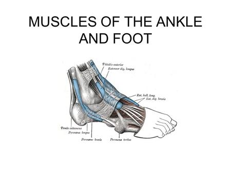 MUSCLES OF THE ANKLE AND FOOT. Ankle and Foot Muscles Extrinsic and Intrinsic muscles Extrinsic muscles –Anterior muscle cause dorsal flexion –Posterior.