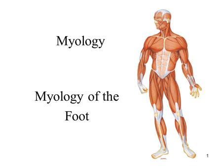 1 Myology Myology of the Foot. 2 Intrinsic Muscle of the Foot: Overview Dorsum of foot: 1. Extensor Digitorum Brevis: Extends toes 1 through 4 Plantar.