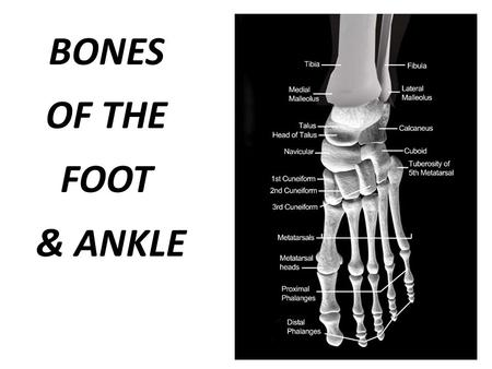BONES OF THE FOOT & ANKLE.