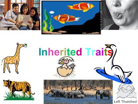Inherited Traits. What are some inherited traits? Inherited traits are things that are passed on that are specific traits. A tiger has stripes. A giraffe.