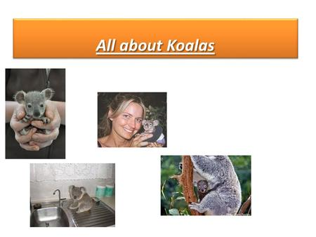 All about Koalas. Once koalas lived every where, but now the only place in the wild you can find them is Australia There are 3 species of koalas: Victor,
