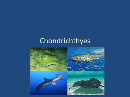 Chondrichthyes An Overview. Chondrichthyes Are jawed cartilaginous fish composed of sharks, skates, and rays They have a skeleton made up of cartilage.