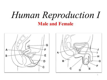 Human Reproduction I Male and Female.