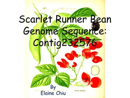 Scarlet Runner Bean Genome Sequence: Contig232576 By Elaine Chiu.