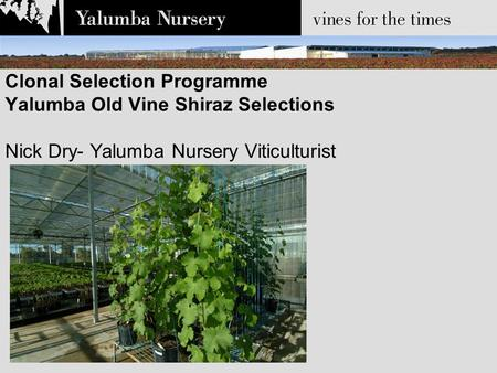 Clonal Selection Programme Yalumba Old Vine Shiraz Selections Nick Dry- Yalumba Nursery Viticulturist.