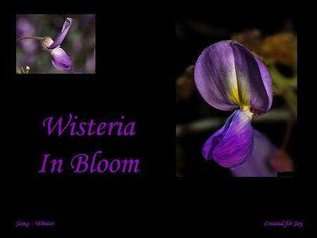 Wisteria In Bloom Song - Winter Created for Joy.