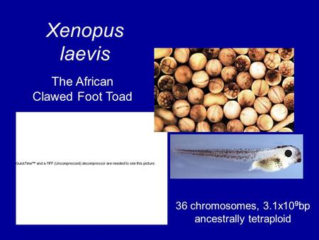 Xenopus laevis 36 chromosomes, 3.1x10 9 bp ancestrally tetraploid The African Clawed Foot Toad.