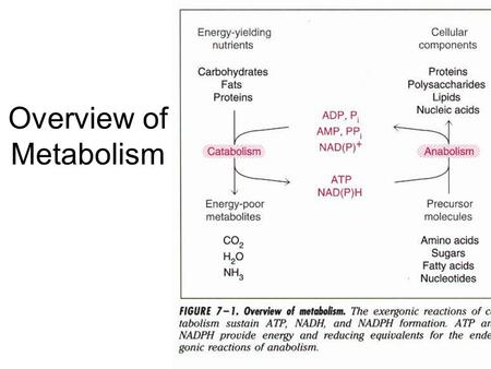 Overview of Metabolism. The Fate of Glucose Exercising muscle Yeast The fate of glucose is varies with physiological conditions, tissues, and organisms.