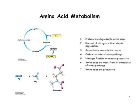 1 Amino Acid Metabolism 1.Proteins are degraded to amino acids 2.Removal of nitrogen is first step in degradation 3.Ammonium is converted into urea 4.C-skeleton.