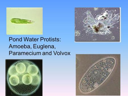 Pond Water Protists: Amoeba, Euglena, Paramecium and Volvox.