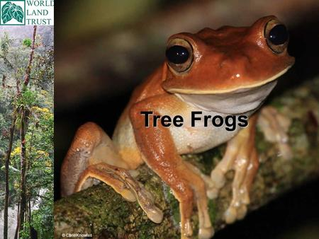 Tree Frogs © Chris Knowles. There are over 600 different types (species) of Tree Frog. Tree Frogs are found in the tropics, the areas around the tropics,