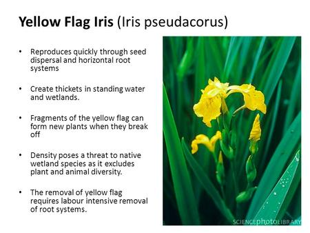 Reproduces quickly through seed dispersal and horizontal root systems Create thickets in standing water and wetlands. Fragments of the yellow flag can.