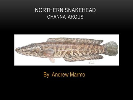 By: Andrew Marmo NORTHERN SNAKEHEAD CHANNA ARGUS.