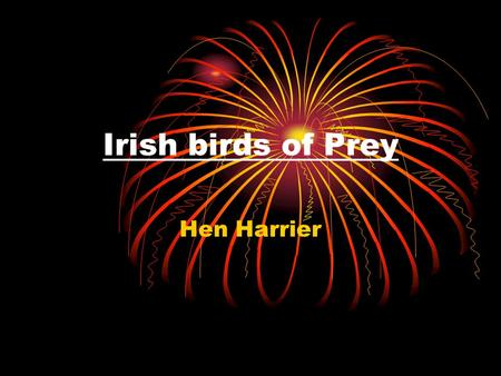 Irish birds of Prey Hen Harrier. The Hen Harrier is one of few birds of prey that live in Ireland. A Hen Harrier is a middle sized bird and mainly eats.