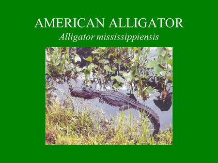 AMERICAN ALLIGATOR Alligator mississippiensis. IDENTIFICATION One of the largest living reptiles Has a large rounded body with thick limbs Size: Adult.