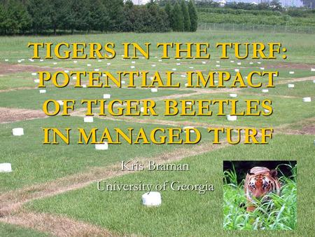 TIGERS IN THE TURF: POTENTIAL IMPACT OF TIGER BEETLES IN MANAGED TURF Kris Braman University of Georgia.