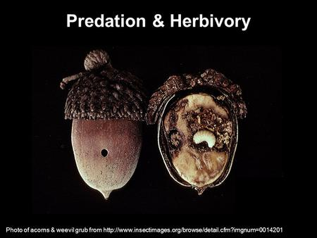 Predation & Herbivory Photo of acorns & weevil grub from