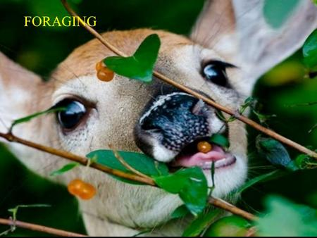 FORAGING. ASK THE FOLLOWING QUESTION: 1. WHAT FOOD ITEMS SHOULD A FORAGER EAT? Diet Selection Models Imagine a predator seeking prey: Finds either prey.